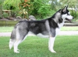 Siberian Husky, 1 year, Black